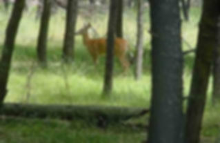 deer in woods.jpg