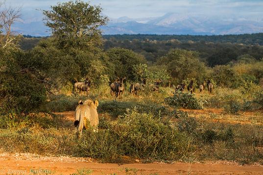 Lioness stalking.jpg