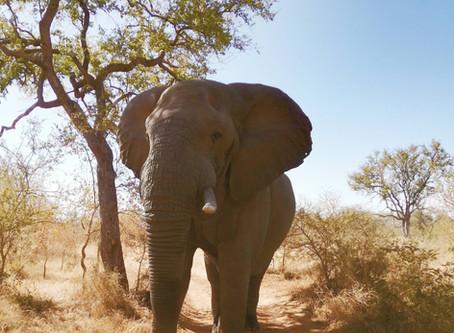 Elephant Warning Charge