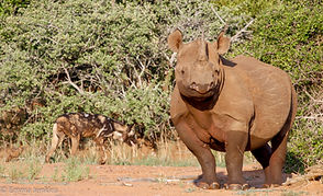 Black Rhino and wild dog