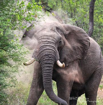 Elephant dust bath.jpg
