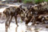 Wilddogs.jpg