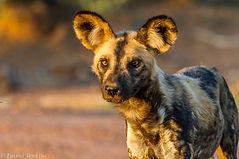 African Wild-dog.jpg
