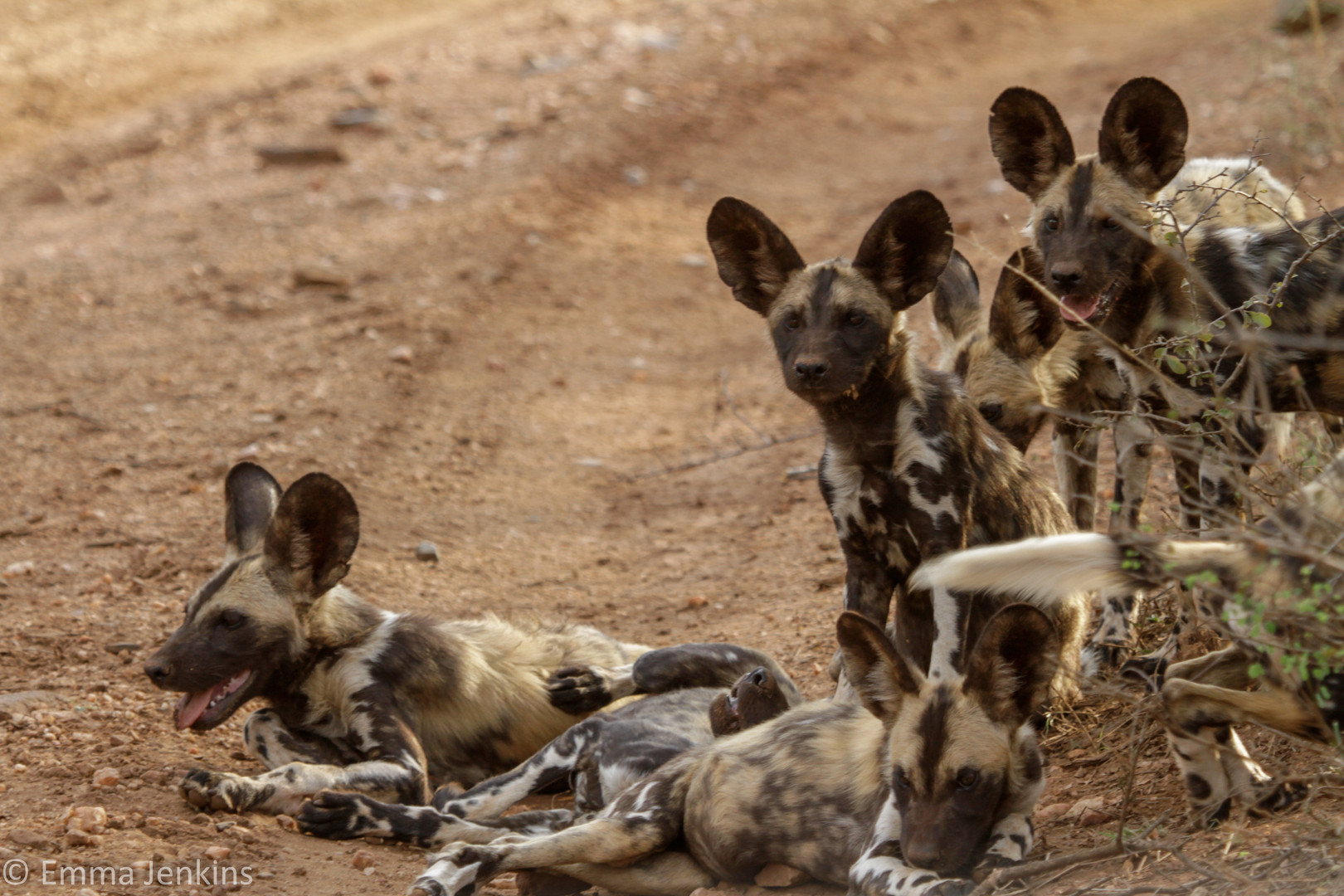 African Wilddogs.jpg