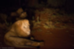 Lion at night.jpg