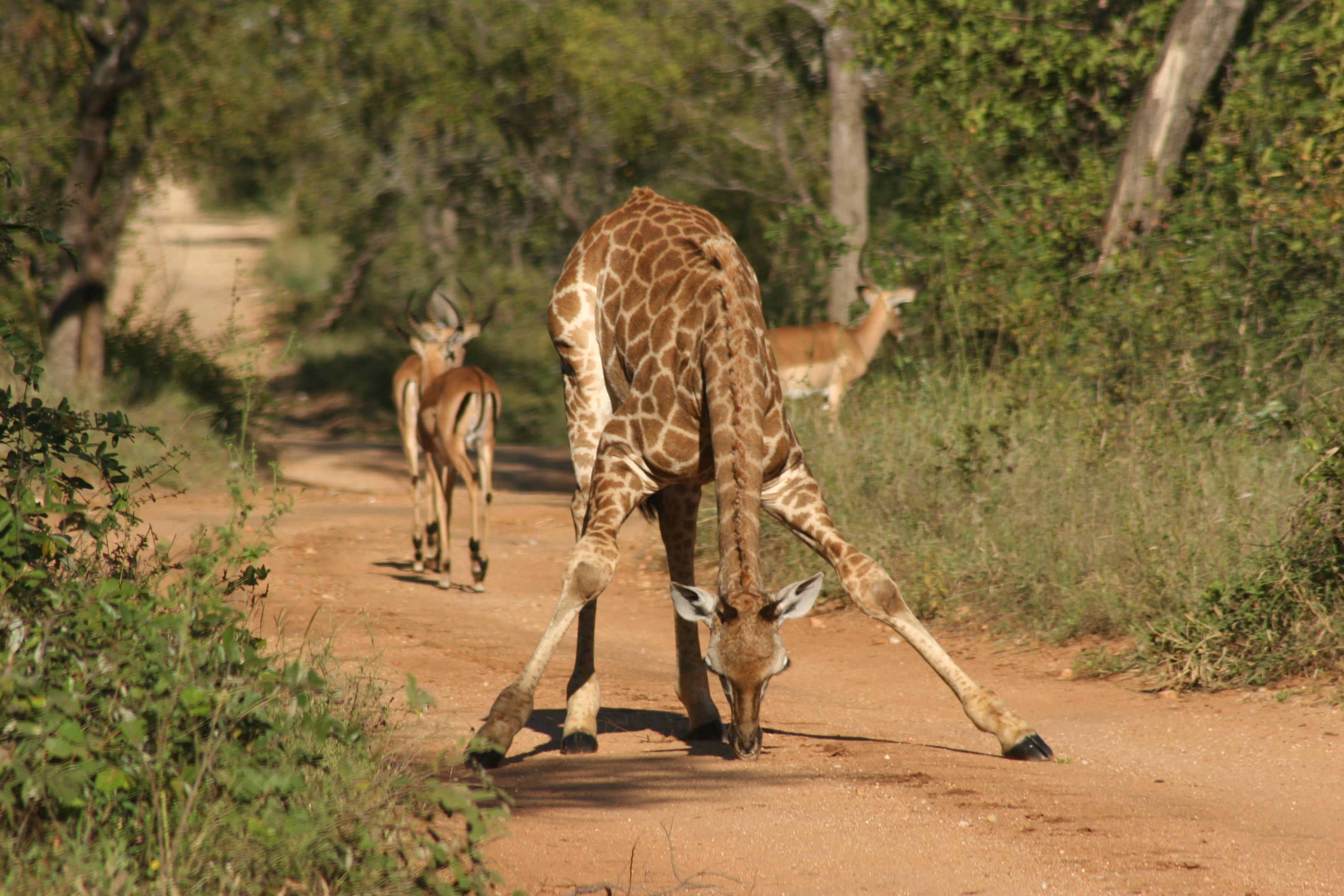 Giraffe & Impala