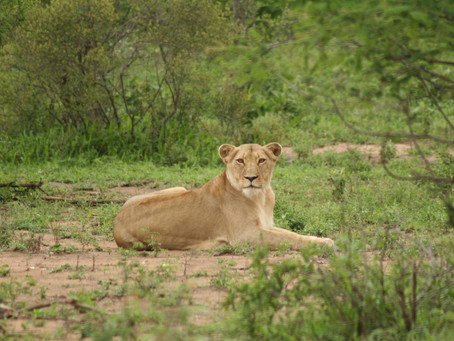 Lion Pride and Elephant Herd Encounter