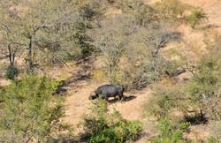 Buffal Bull