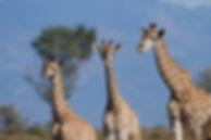 Giraffe family.jpg