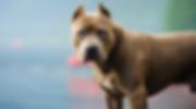 Ontario pit bull.png