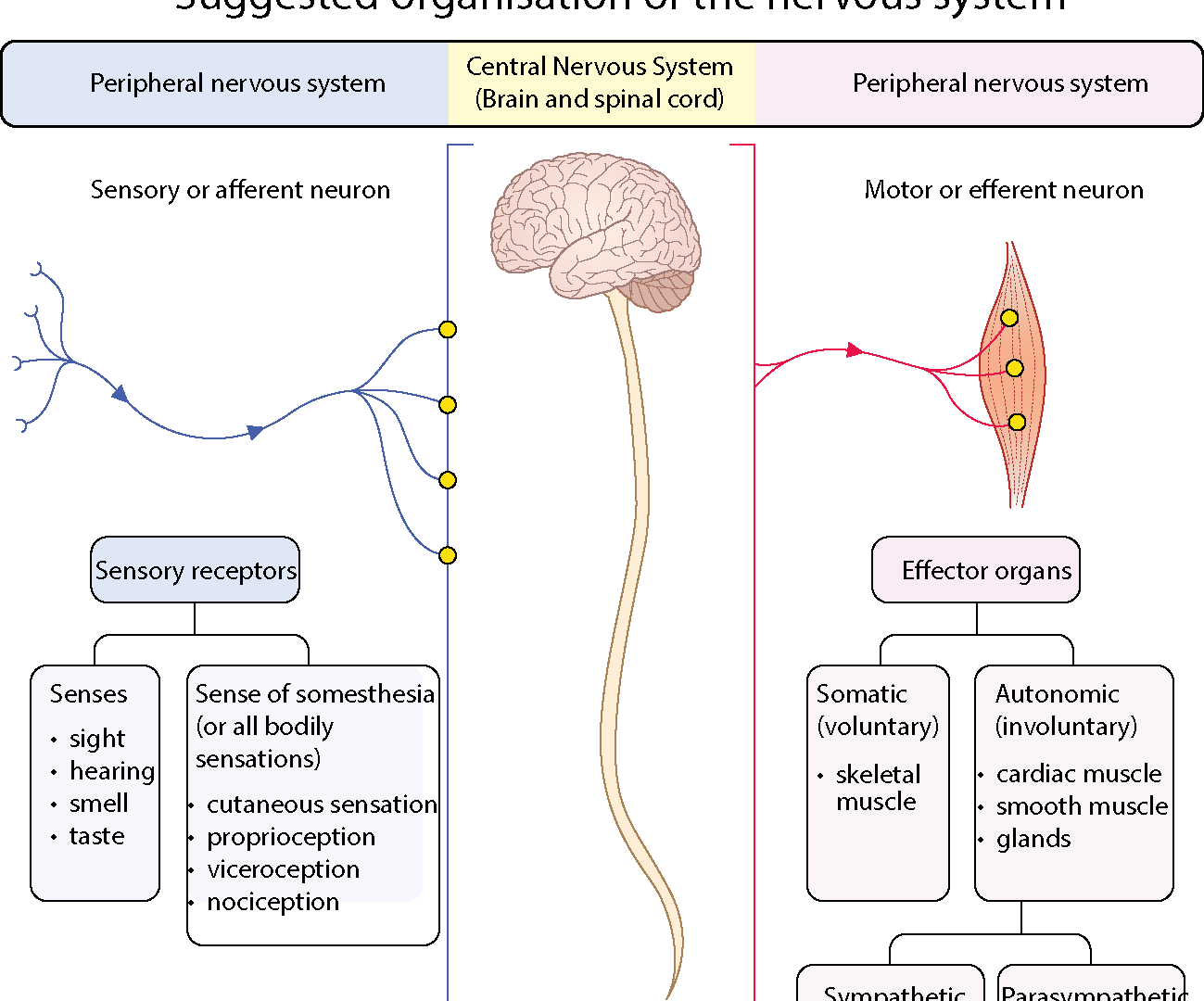 Suggested organisation of the nervous system
