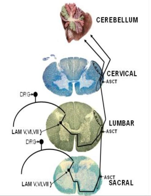 Ventral Spinocerebellar Tract