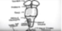 colonne dorsale 4.png