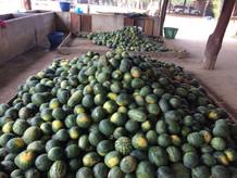 Les pastèques pour les éléphants / Watermelons for elephants