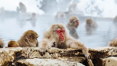 Snow monkeys visit a spa