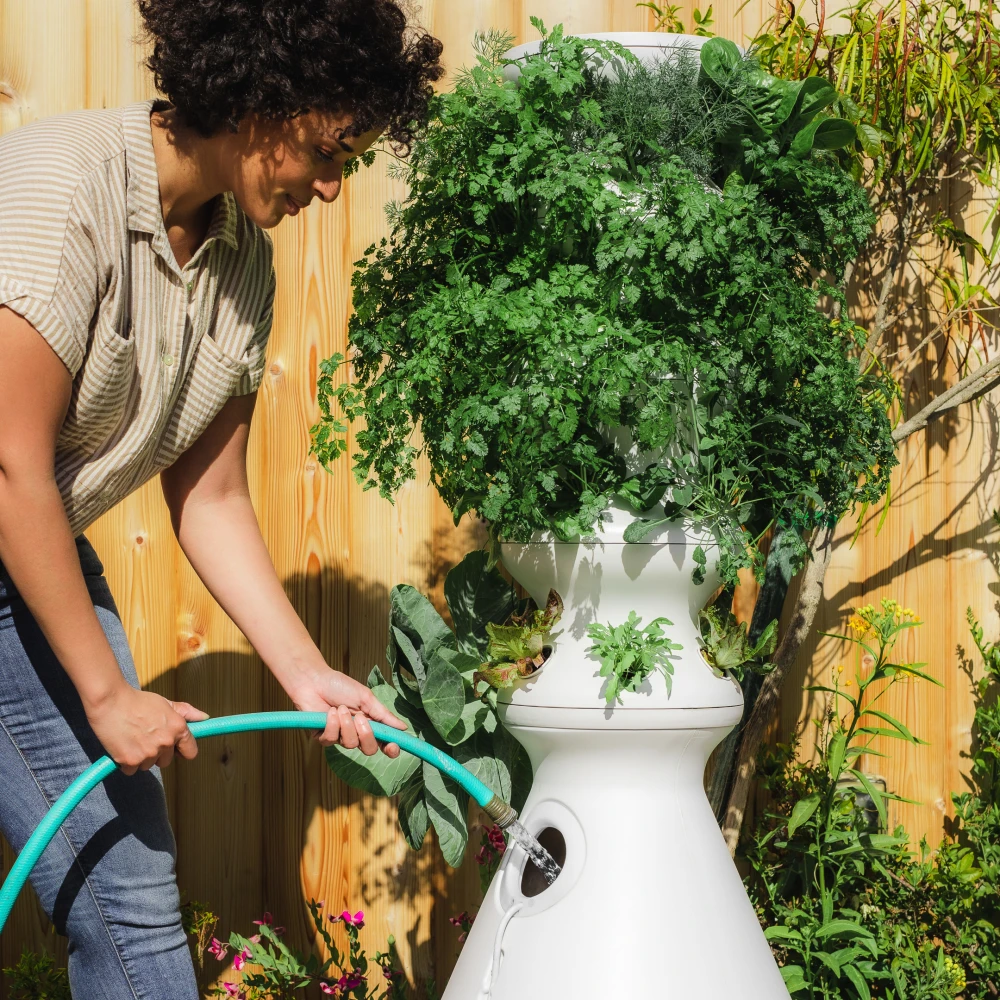 Woman watering a large white lettuce stand with plants growing out of it