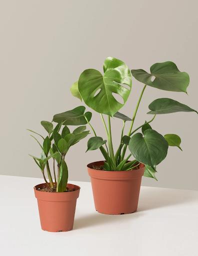 two green plants in orange pots