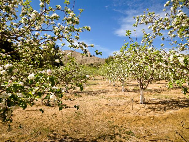 Royal Way Apple Orchard