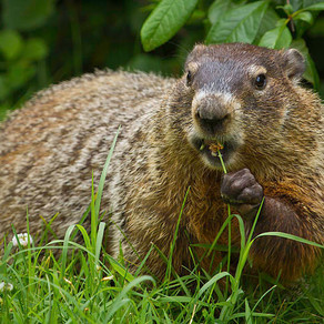 Groundhogs Strike To Protest Climate Change