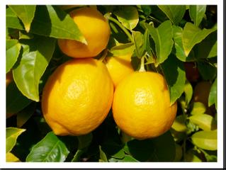 Lemon sorbet (preparation time 20 minutes plus stirring time)