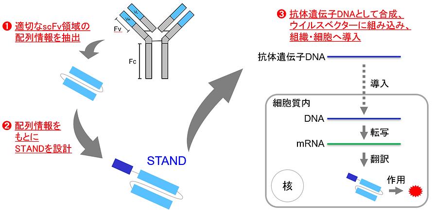 STAND / 抗体安定化 / 遺伝子