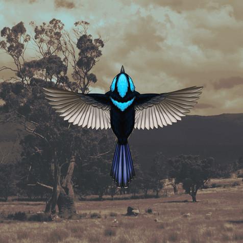 Superb Fairywren