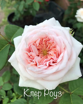 клер роуз.jpg