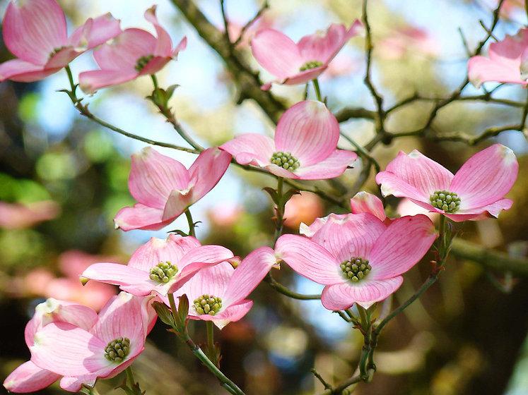 pink dogwood blossoms.jpg