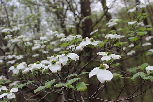 dogwood blossoms (2).JPG