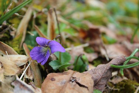 violets (1).JPG