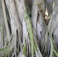 Tree, Tampa