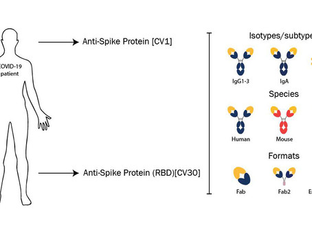 SARS-CoV-2 neutralising antibodies derived from COVID-19 patients