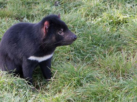 Cancer Mutation in Tasmanian Devils Shed Light on Human Tumors