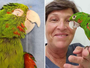 Parrot With Damaged Beak Gets Second Chance at Life With New Prosthetic Beak