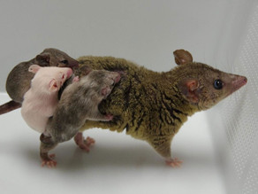 CRISPR creates first genetically modified marsupials
