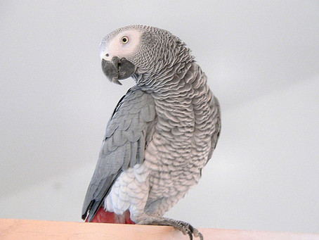 This African Gray Parrot Is the First Animal To Ever Ask an Existential Question