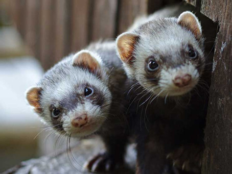 Inexpensive Nasal Spray Prevents COVID-19 Infection in Ferrets, Shows Promise for Human Trials