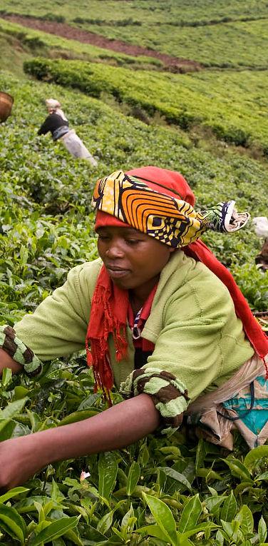 Rwanda-Tea-harvest.jpg