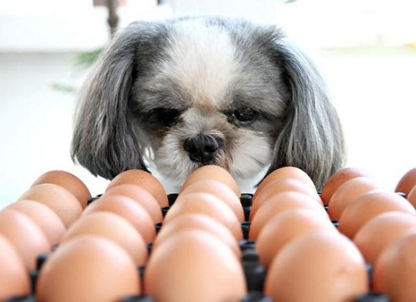 dog-eats-eggs.jpg