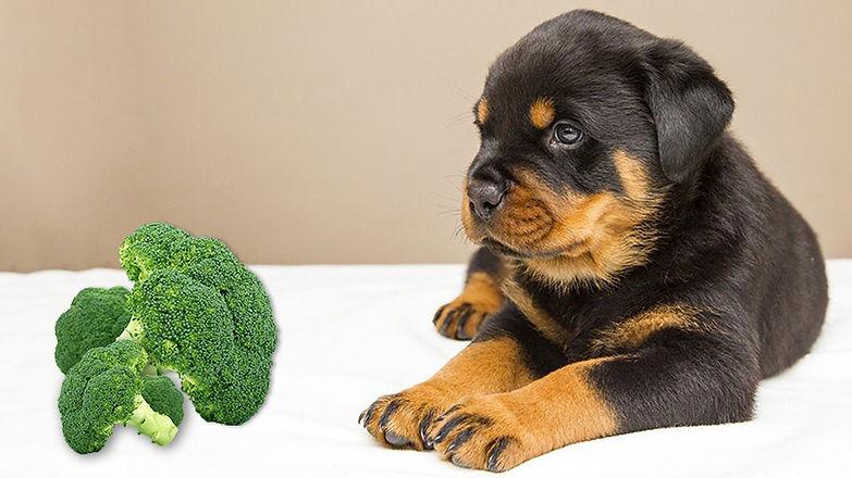 Can-Dog-Eat-Broccoli-990x556.jpg