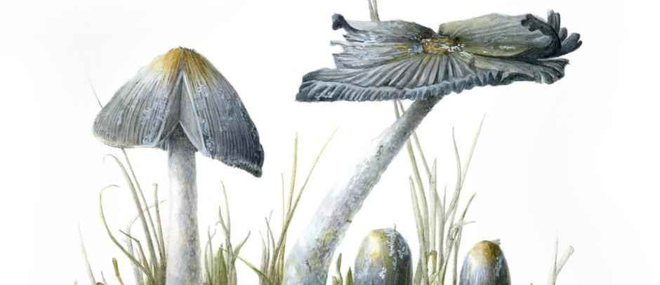 Gray Shag Mushroom