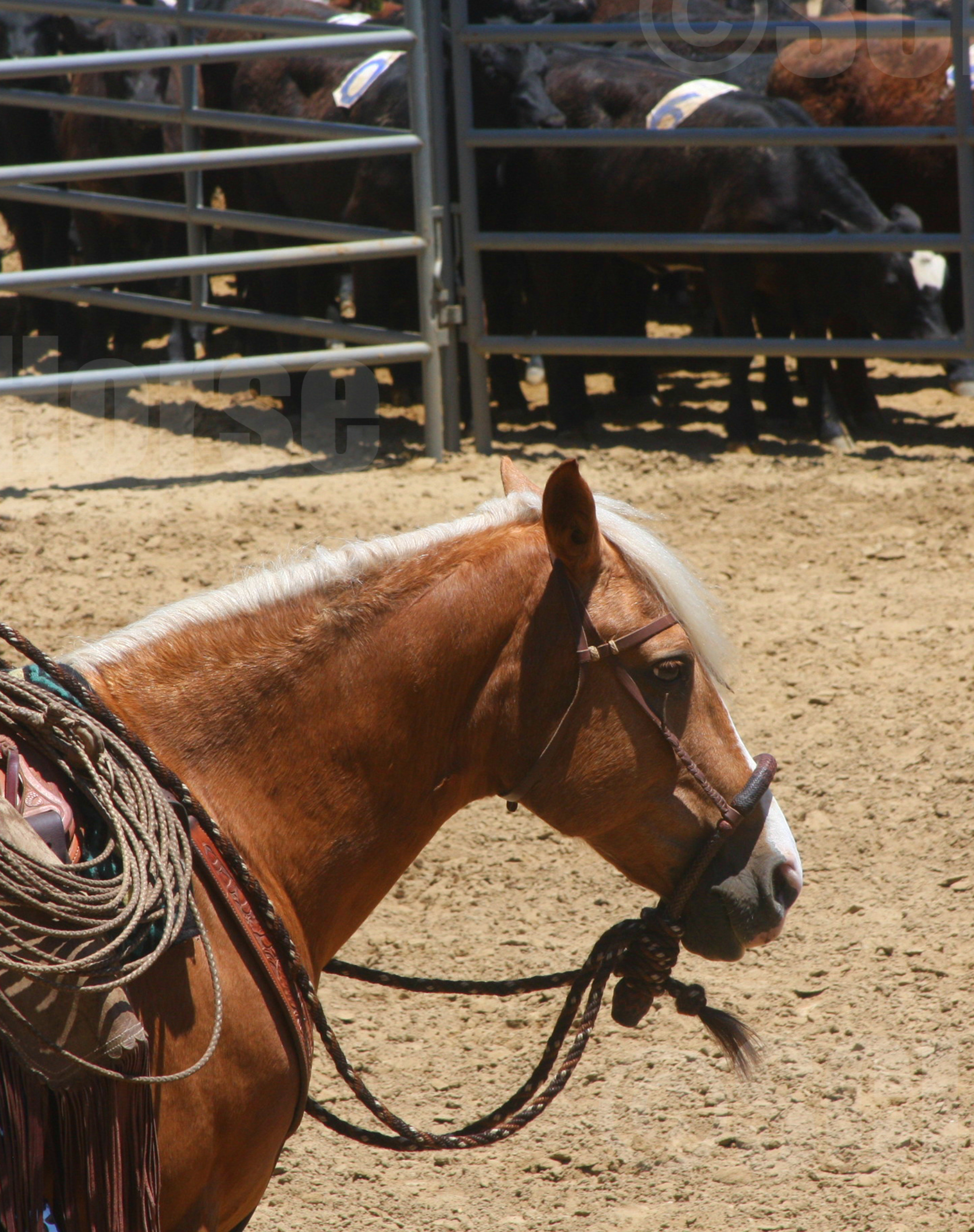 Santa Cruz Island Horse Cochise Hackamore- Laura Fullilove 2015.jpg