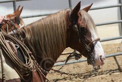 Santa Cruz Island Horse Prancer- Laura Fullilove 2015.jpg