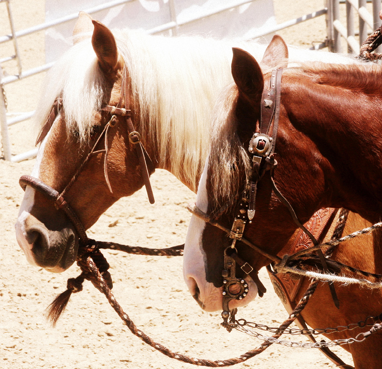 Santa Cruz Island Horses - Laura Fullilove 2015.jpg
