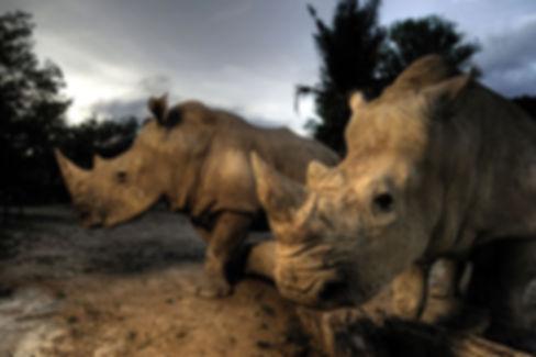 dinokeng rhino horn