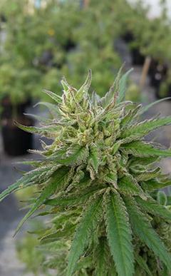High CBD hemp bloom
