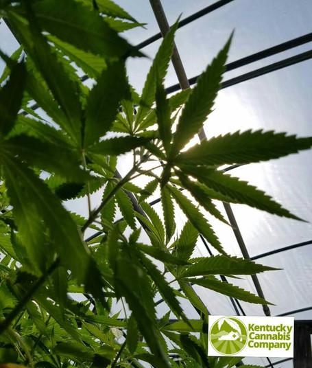 Bright sunny day at the hemp greenhouse