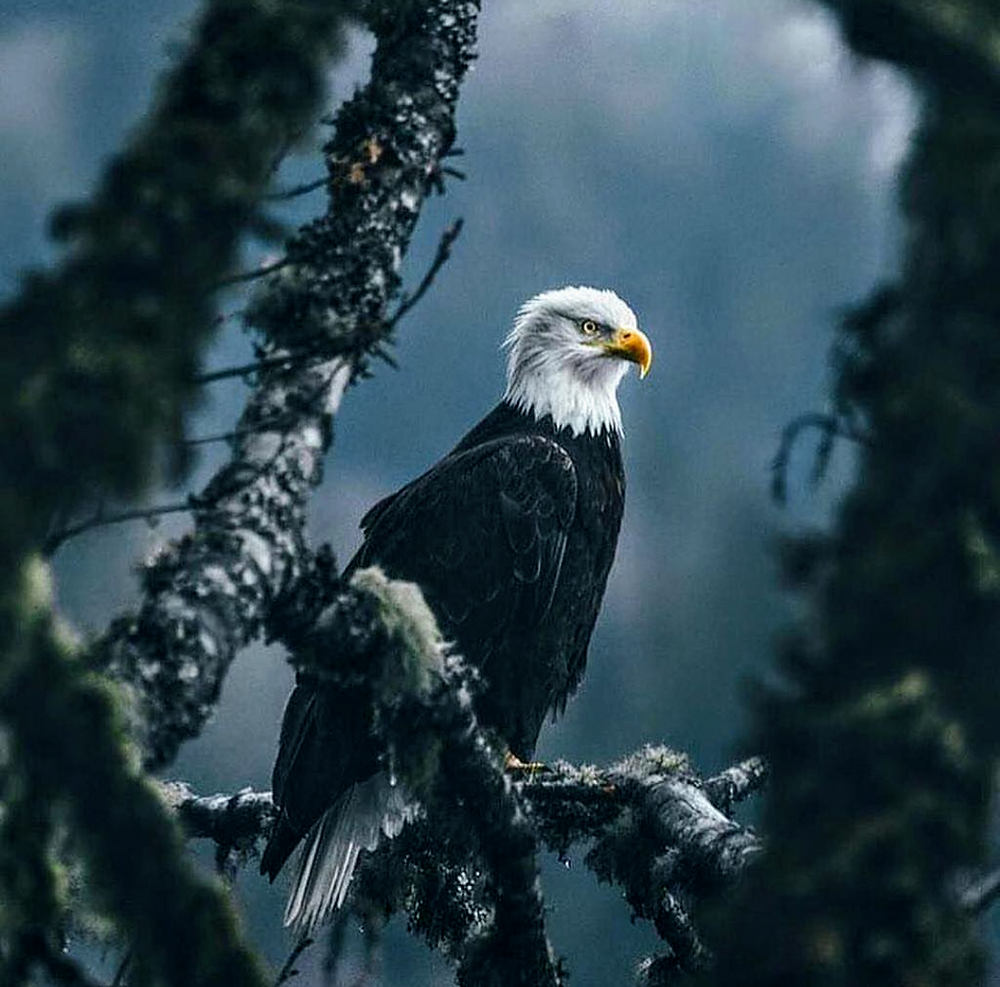 American bald eagle on branch