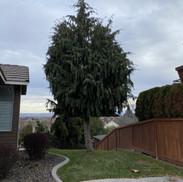 Tree removed, Kennewick WA