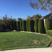 Shrub trimming, lawn care Kennewick